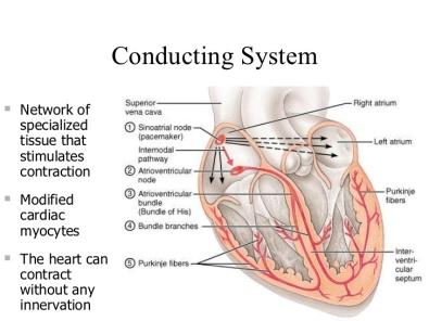 cardiac-conduction-system-1-728